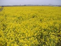 Field_mustard